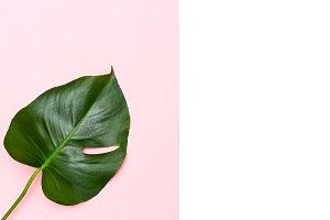 Monstera leaf on pastel background.