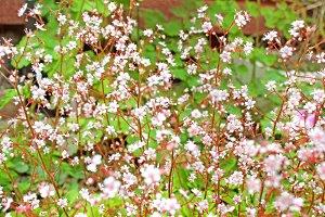 Tiny Pink flowers Saxifraga Umbrosa