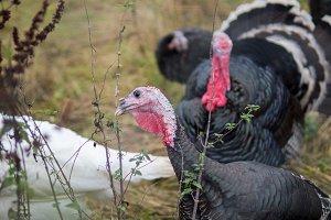 Turkeys in the countryside walk