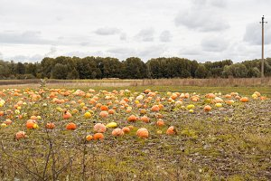 Pumpkin field. Autumn landscape