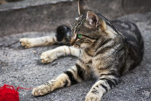 young gray tabby cat