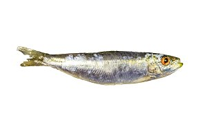 Anchovy Isolated Photo