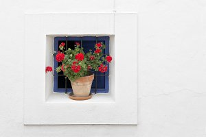 Potted geraniums