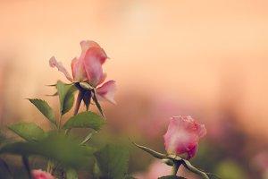 Sunset Rose Flowers