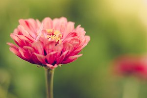 Fresh Pink Flower