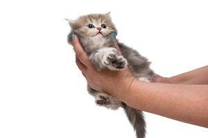 Grey British kitten in female hands