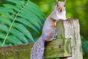 New England Squirrel
