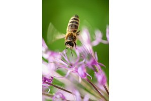flying bee on the violet flower with