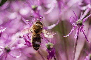 bee on the violet flower with