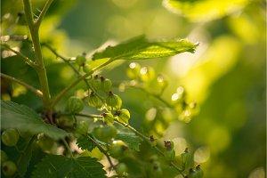green currants in the summer garden