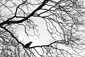 Crows  on tree branches. Black an