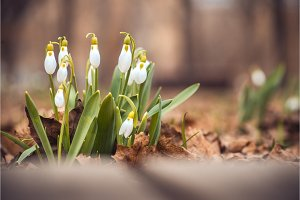 spring snowdrop flowers in the