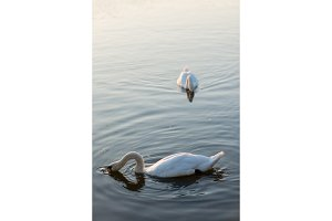 white swans on the summer lake