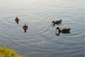 four ducks swimming and feeding in