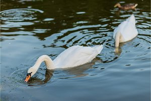 white swans and duck on the summer