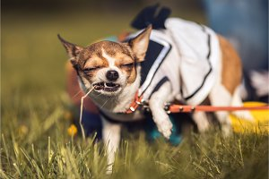 funny Chihuahua enjoy chewing the