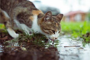 A stray cat drinking water from