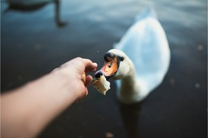POV of feeding swan on the lake pond
