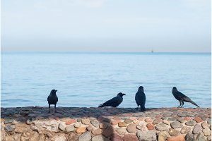 Black crows standing on the stone