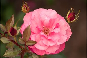 Beautiful pink rose in a summer