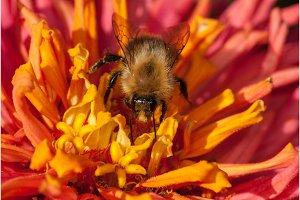bee on the red orange flower