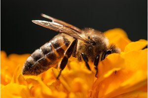 bee on the orange flower with