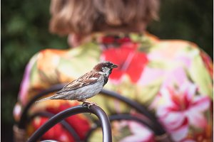 City sparrow sitting on the wicker