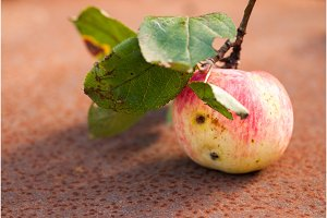wormy apple with leaves on the rusty