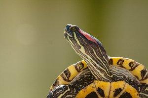 Turtle #9 - Water Animals