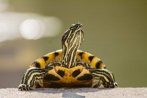 Turtle #8 - Water Animals