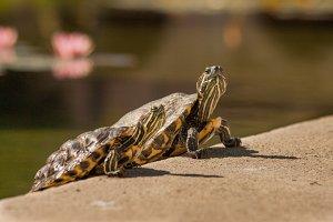 Turtle #6 - Water Animals