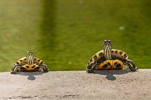 Turtle #7 - Water Animals