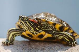 Turtle #5 - Water Animals