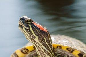 Turtle #4 - Water Animals