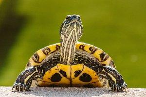 Turtle #2 - Water Animals