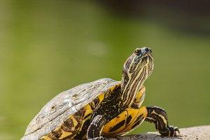 Turtle #1 - Water Animals