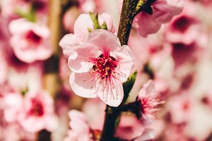 Pink Tree Blossoms #2