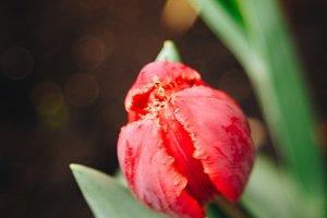 Tulip #5 - Spring Flowers