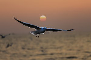 Seagulls are flying at sunset.