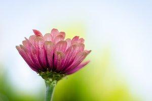 Pink Flower Facing Blue Sky