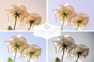 Gentle White Roses Bundle