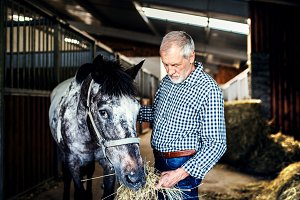 A senior man feeding a horse hay in