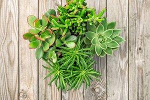 Succulent plants wooden background