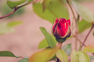 Red Rose Flower Bud