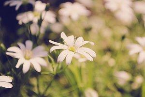 Vintage Daisy Flowers