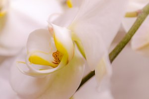 White Orchid Flower - color