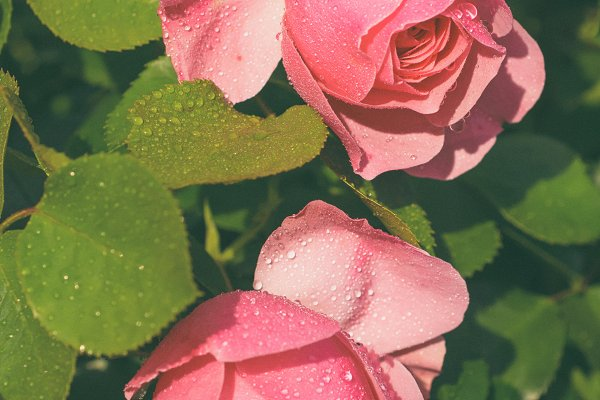 Nature Stock Photos: Nature and travel - Pink roses garden