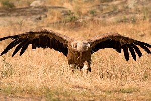 Portrait of a black vulture in the n