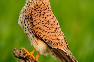 Beautiful profile of a kestrel in th
