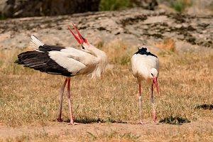 Elegant white stork